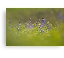 Selective focus on a cluster of Blue lupin (Lupinus pilosus) Canvas Print