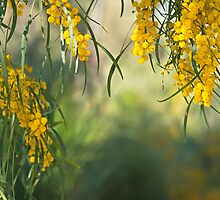 Golden wattle by Jennie  Stock