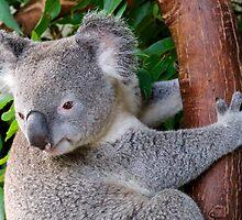 Koala by Mihaela Limberea