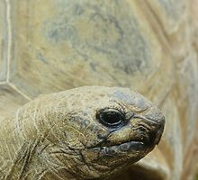 Tortoise by Anthony Woolley