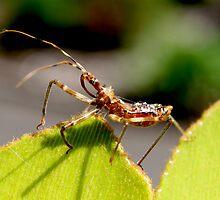 Assassin Bug by John Marriott