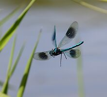 Banded Demoiselle by shaftinaction