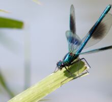 Banded Demoiselle Sticker