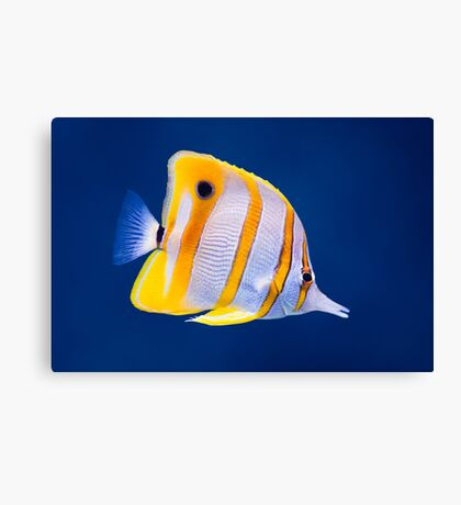 Exotic tropical coral reef copperband butterfly fish Canvas Print