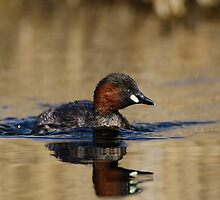 Little Grebe by shaftinaction