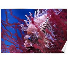 Lionfish in a red seaweed Poster