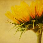 Sunflower by lorrainem
