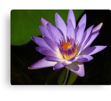 Purple water lily, Gold Coast, Queensland Canvas Print