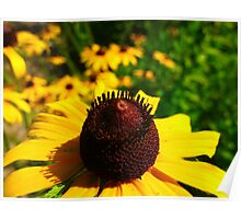 A sea of Black-eyed Susans Poster