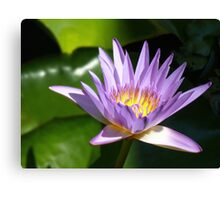 Water lily, Gold Coast, Queensland Canvas Print