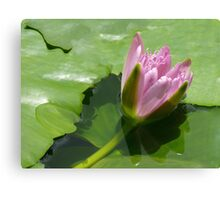 Pink water lily, Gold Coast, Queensland Canvas Print