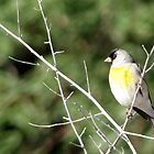 Lawrence's Goldfinch ~ Male by Kimberly Chadwick