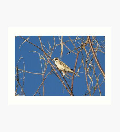 Lark Sparrow ~ Adult Art Print