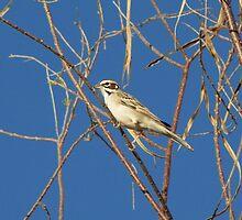 Lark Sparrow ~ Adult by Kimberly Chadwick