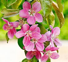 Apple Tree Flowers 'Maypole' by Dency Kane