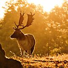 A Deer in Knole Park by samcmoore