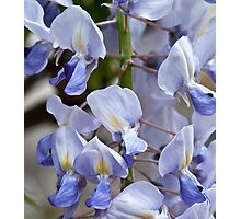 Japanese Wisteria 'Lawrence' Photographic Print
