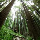 Humboldt Redwoods Panorama by AndreaBorden