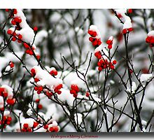 Red berries for Christmas by Kelly  McAleer