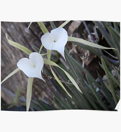 White Orchid Pair Poster