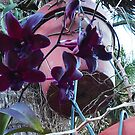 Hanging Orchids by Ginny Schmidt