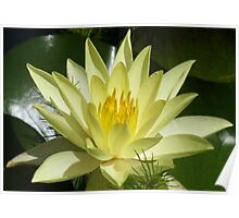 Yellow water lily, Gold Coast, Queensland Poster