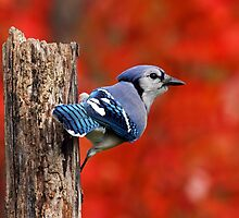 Autumn Blue Jay by Bill McMullen