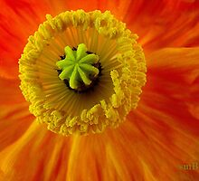 Poppy Heart by Susan Bergstrom