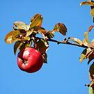 Apple - autumnal red by Babz Runcie