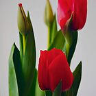 red tulips by alex skelly