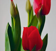 red tulips by axieflics