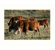 cattle heading home in the evening Art Print
