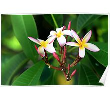 frangipani offering Poster