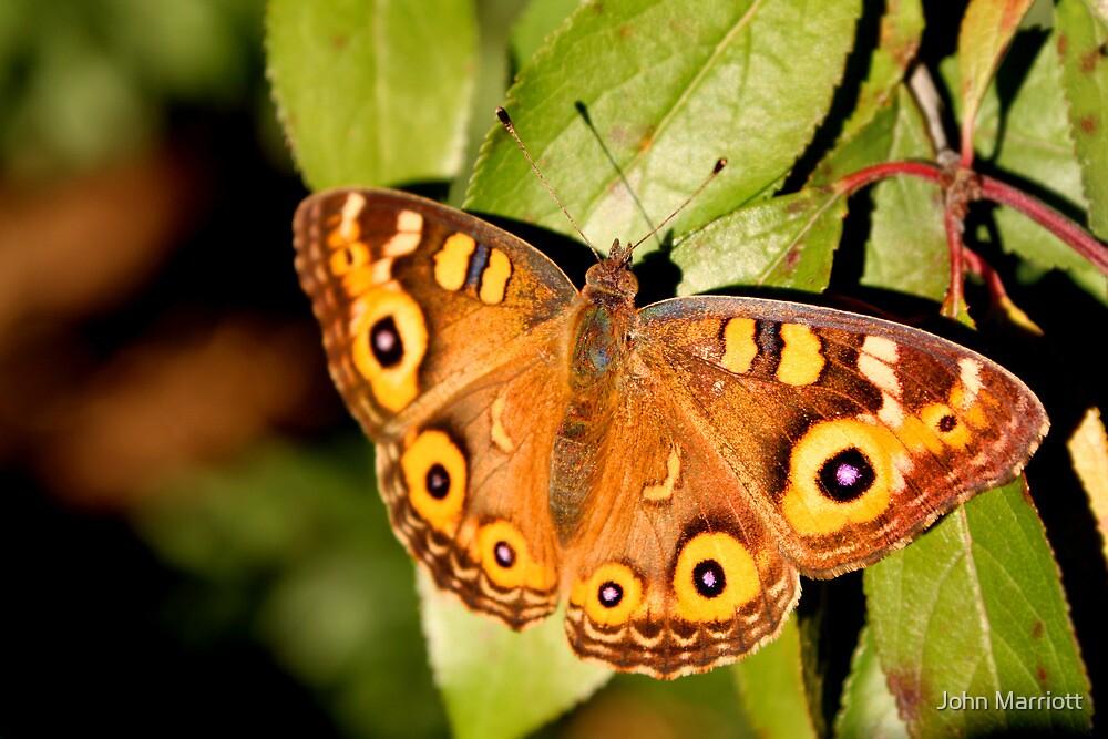 Meadow Argus Butterfly by John Marriott