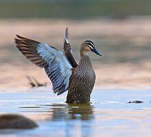Taking a bath - Pacific Black Duck by Haggiswonderdog