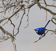 Splendid - the brilliant blue Splendid Fairy-wren by Georgina Steytler