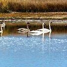 Five Swans a Swimming by Bryan D. Spellman