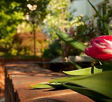 A Tulip on Calvet Street by Dan Lauf
