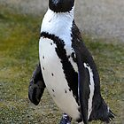 African Penguin (endangered) - Singapore by Ralph de Zilva