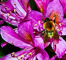 Bee on Rhododendron by Dottie11