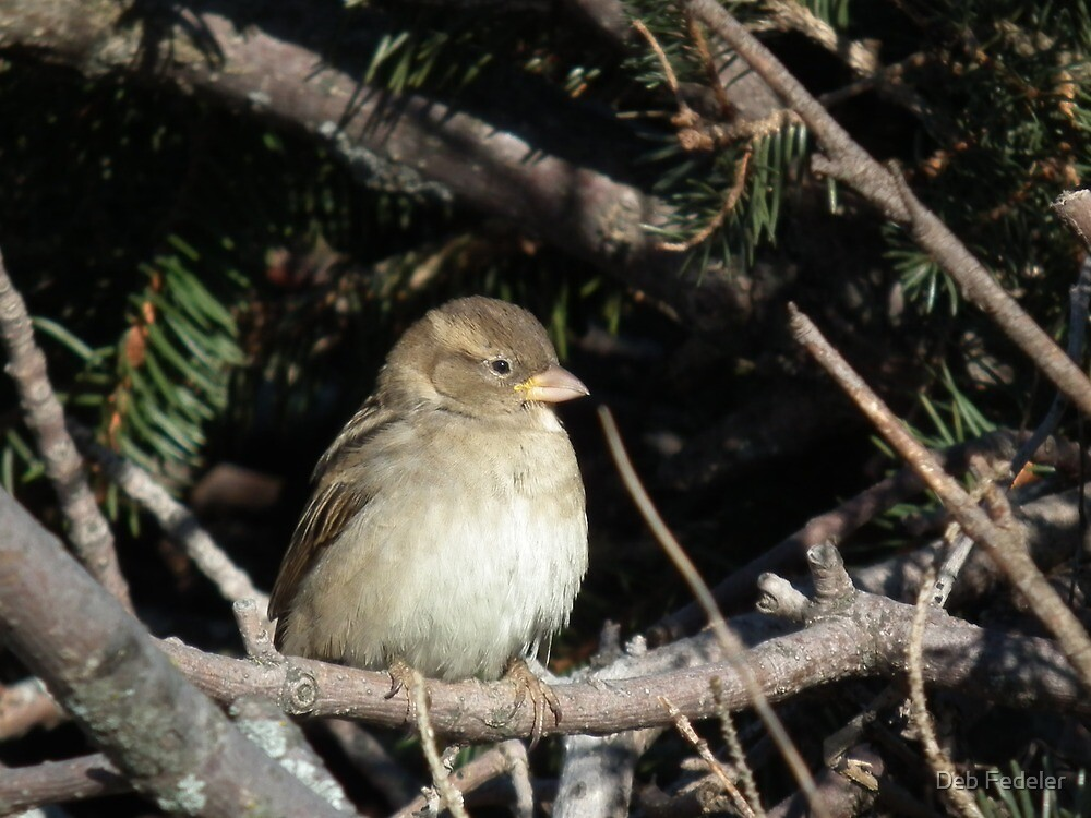 Chipping Sparrow in Branches by Deb Fedeler