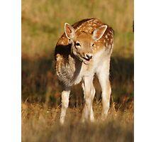 Fallow deer Photographic Print
