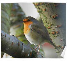 Hello little Robin!  Poster