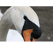 Portrait of a swan Photographic Print