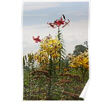 Multi-coloured lillies Poster