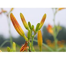Lily in grass. Photographic Print