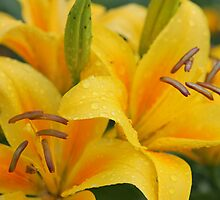 Yellow lillies by fotorobs