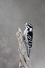 WinterTime - Downy Woodpecker by Lynda  McDonald