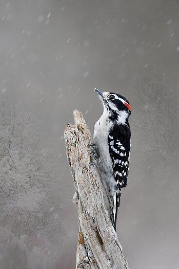 WinterTime - Downy Woodpecker by Lynda   McDonald