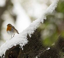 European Robin (Erithacus rubecula) perched on a branch in the snow,  by PhotoStock-Isra